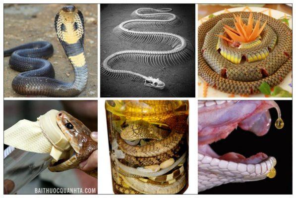 công dụng chữa bệnh từ rắn